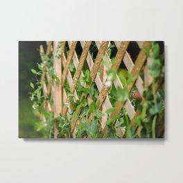 Fresh Sugar Snap Peas in Backyard Garden Metal Print