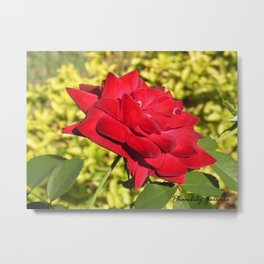 Red Rose IMD Jamaica Spring 2020 Metal Print