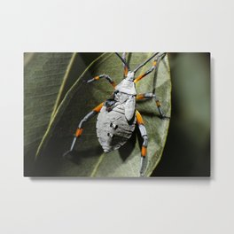 Eucalyptus Tip-wilter also known as Clown Bug Metal Print