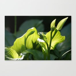 Evening Hosta Canvas Print