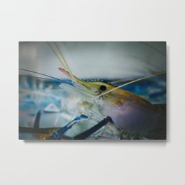 Closeup of Prawn Underwater Metal Print
