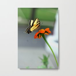 Swallowtail Butterfly on Mexican Sunflower Metal Print