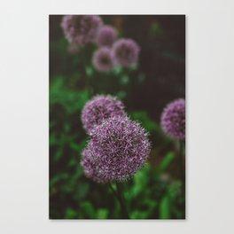 New York Alliums Canvas Print