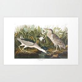 Night Heron, or Qua bird by John Audubon Art Print