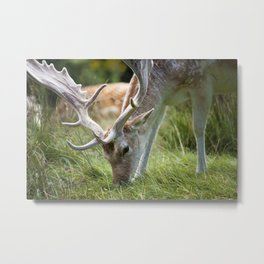 Fallow Deer with big antlers grazing on grass at a British country park estate Metal Print