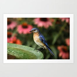 Perched Eastern  BlueBird Art Print