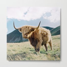 Portrait of a Highland Coo Metal Print