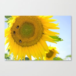 bumblebees taking nectar on yellow sunflower Canvas Print