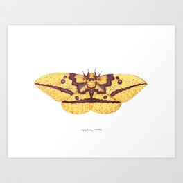 Imperial Moth (Eacles imperialis) Art Print