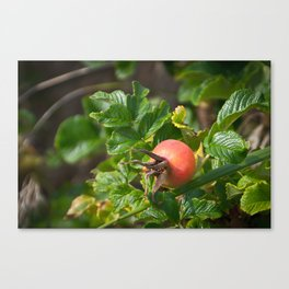 Rose Hip Canvas Print