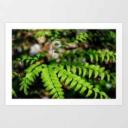 Maiden Hair Fern in Spring, Botanical Fine Art, Nature Print Art Print