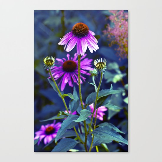 Purple Coneflowers  Canvas Print