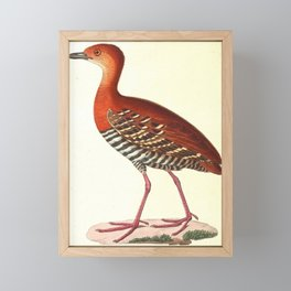 Rallina fasciata 183816 Framed Mini Art Print