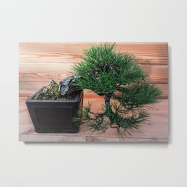 Bonsai Pinus Parviflora (Japanese white pine) Metal Print