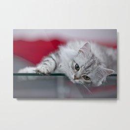 Lovely British Longhair Kitten Metal Print