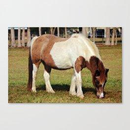 American Paint Horse Canvas Print
