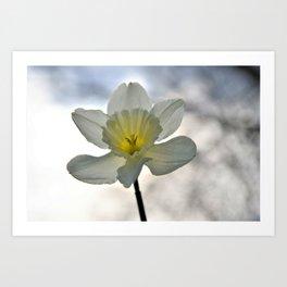 Daffodil In The Sun Art Print