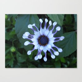 Blue Eyed Daisy Canvas Print