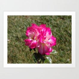 Beautiful Rainbow Sherbet Rose, Single Rose, Pink Flower Art Print