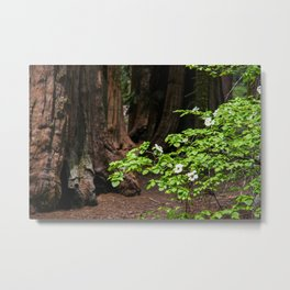 Flowering Dogwood & Sequoia Trees, McKinley Grove, California Metal Print