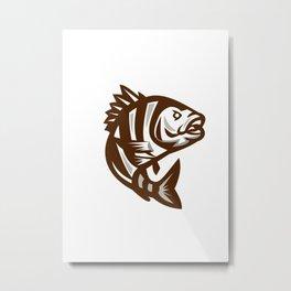 Sheepshead Fish Jumping Isolated Retro Metal Print