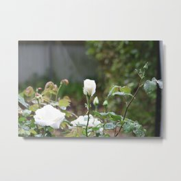 White rose in the mist Metal Print