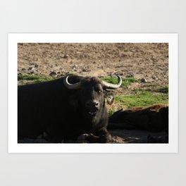 African Buffalo Dining Art Print
