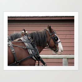 Bay Clydesdale Draft Horse Team - Brad and Andy Art Print