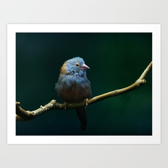 Cordon Bleu Canary Art Print
