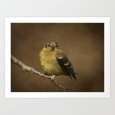 Baby Female Goldfinch Art Print