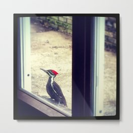 Nosy Pileated Metal Print
