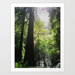 Redwoods Light Art Print