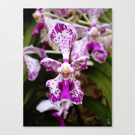 Wild Orchid (Pink & White) Canvas Print