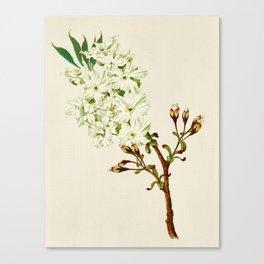 Gyoi-ko or Robe Yellow Cherry Blossoms Canvas Print