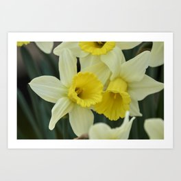 daffodils bloom in spring in the garden Art Print