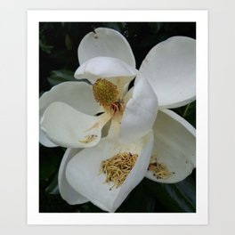 Magnolia in the South Art Print