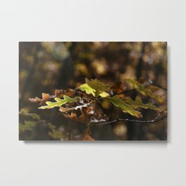 Oak leaves in forest with yellow colors in Autumn Metal Print
