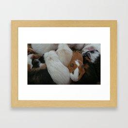 Guinea pig petting zoo closes at three Framed Art Print