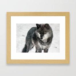 Alpha Wolf Framed Art Print