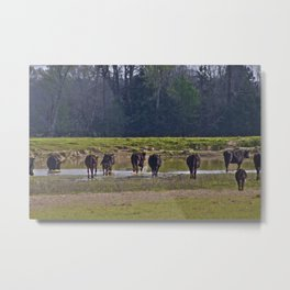 Cattle Metal Print