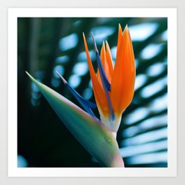 CORAL Bird of Paradise Art Print
