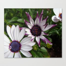 Purple and White Osteospermum Canvas Print