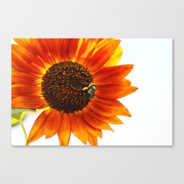 Buzzing the sunflowers Canvas Print