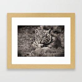 Sumatran Tiger Cub Taking A Break Framed Art Print