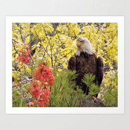 Maine Bald Eagle Art Print