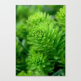 Beautiful green water plant with thin leaves Canvas Print