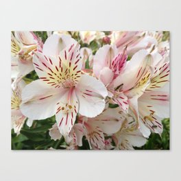 Alstromeria Sping Flower Canvas Print