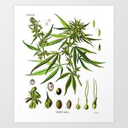 Cannabis Sativa - Koehler (1887) Kunstdrucke