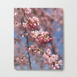 Pink Cherry Blossoms, Spring Flower Metal Print