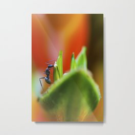 An ant on a Heliconia Stricta Flower. Metal Print
